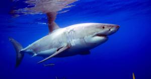 012714 Establece Sagarpa Veda del tiburón blanco